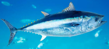 BLUEFIN TUNA-380