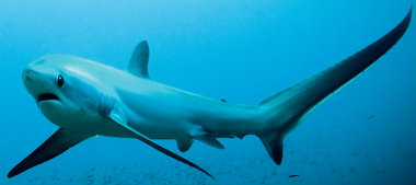 THRESHER SHARK-380