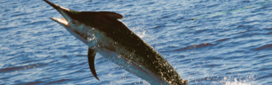CRIKEY!!! 1200lb Black Marlin Puts Up A Fight!
